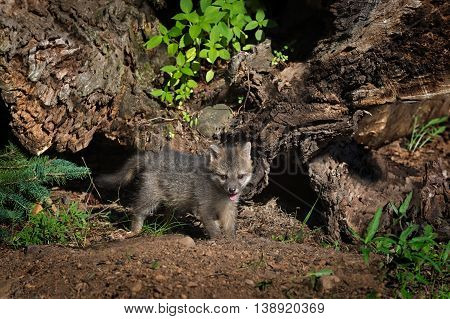 Grey Fox Kit (Urocyon cinereoargenteus) Stands By Log - captive animal