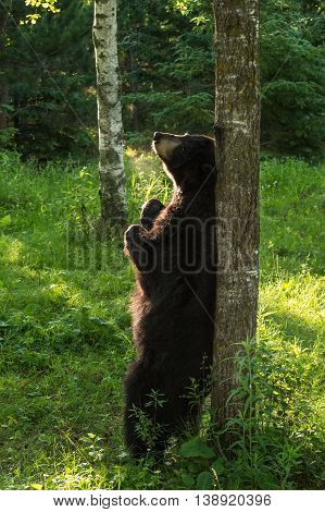 Black Bear (Ursus americanus) Enjoys a Backstratch - captive animal