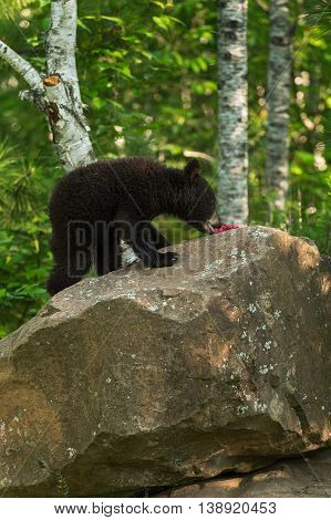 Black Bear (Ursus americanus) Cub Snacks on Berries - captive animal