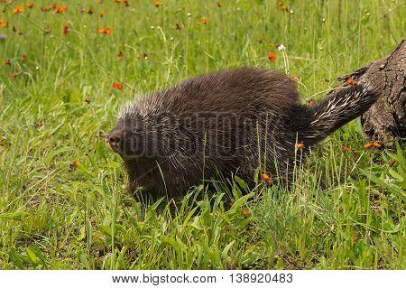 Porcupine (Erethizon dorsatum) Walks Away From Log - captive animal