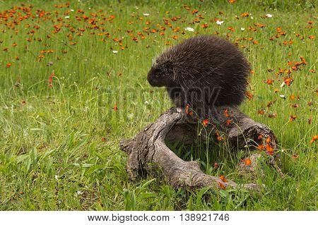 Porcupine (Erethizon dorsatum) Contemplates a Nap - captive animal