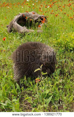 Porcupine (Erethizon dorsatum) Log in Background - captive animal