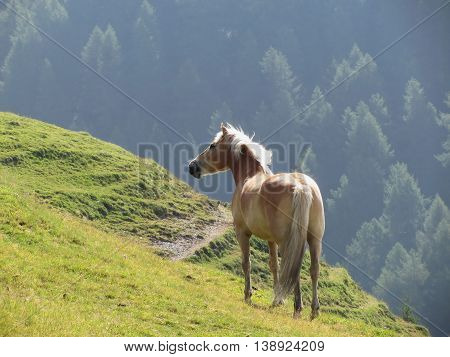 Single horse in an alpine pasture . Sesto Dolomites South Tyrol Italy