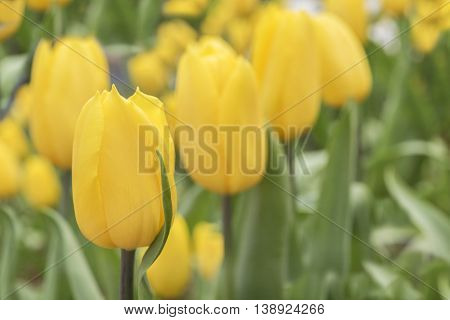 Yellow tulip in flowerbed in Springtime at Rayong Thailand
