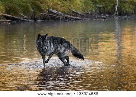 Grey Wolf (Canis lupus) Stands in River - captive animal