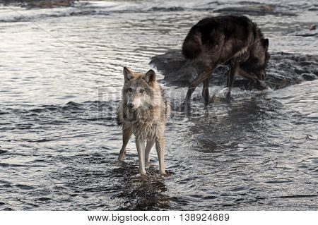 Grey Wolf (Canis lupus) Looks Left From River - captive animal