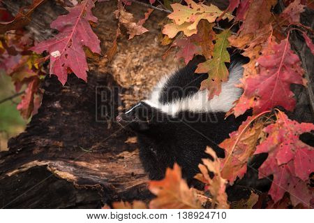 Striped Skunk (Mephitis mephitis) Looks Left from Autumn Log - captive animal