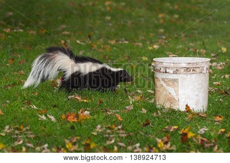 Striped Skunk (Mephitis mephitis) Walks Towards Bucket - captive animal