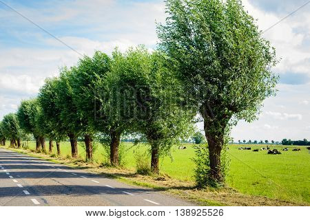 Row of pollard willows on the side of a country road. It's a sunny day in the summer season. Ruminating cows are lying in the meadow.