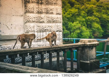 Macaques stare each other down on a ledge