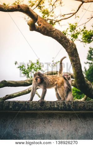 Macaque checks for bugs on a friend