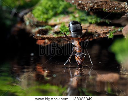 Ant drinks water from a forest brook