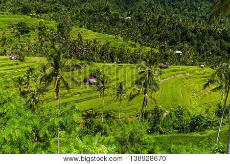 Rice fields on Bali island Indonesia - travel and nature background