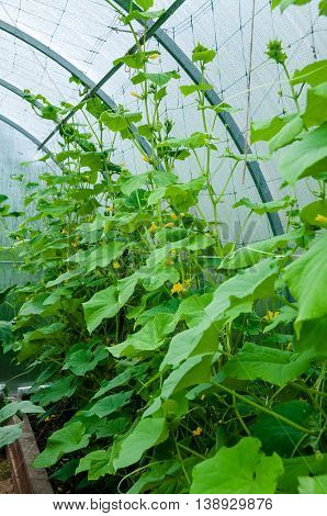 Cultivation of cucumbers in greenhouse , there are pictures of this series
