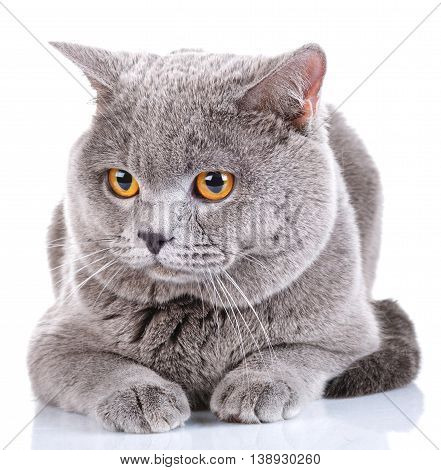 cute British Shorthair cat isolated  on  white background