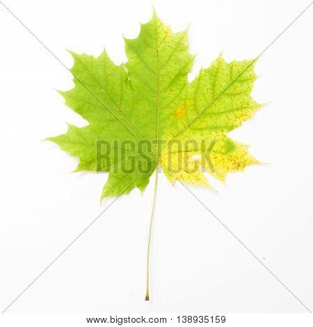 Maple Leave In Gradient Autumn Colors