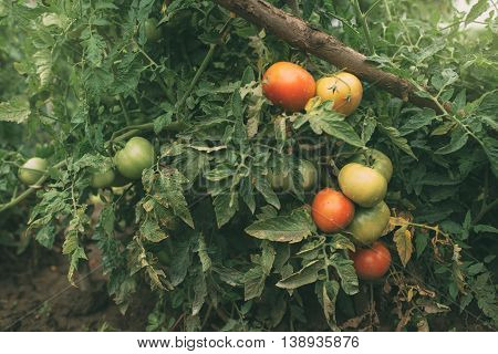 Homegrown organic tomato growing in vegetable garden selective focus