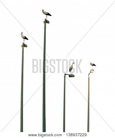 storks bird sitting on the electric poles