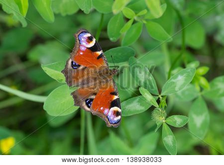 European Peacock butterfly sitting on a wild clover at summer season