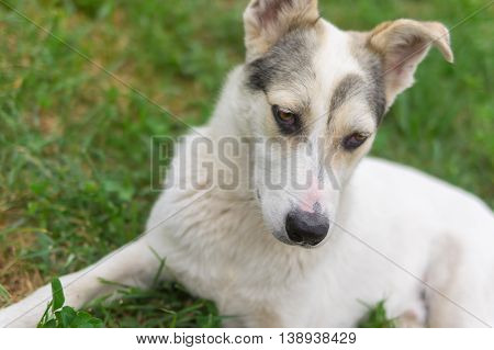 Outdoor portrait of mixed breed young dog lying in summer grass