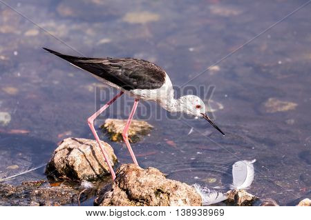 Black-winged Stilt in a water park in Bahrain