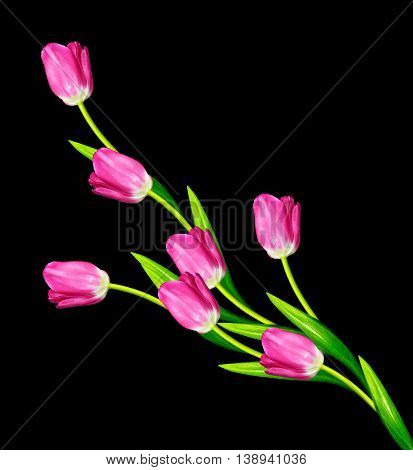 spring flowers tulips isolated on black background.