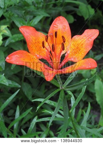 Tiger lilies in garden. Lilium lancifolium syn. L. tigrinum is one of several species of orange lily flower to which the common name