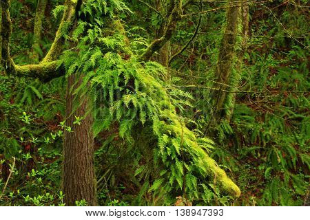 a picture of an exterior Pacific Northwest forest with a Vine maple tree and ferns