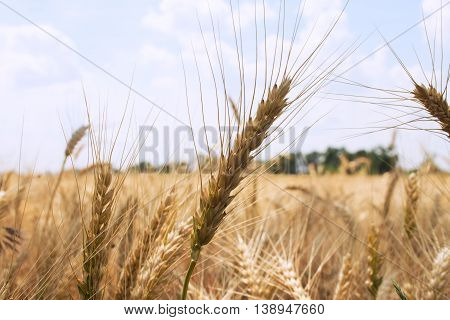 spikelet on the background of blurred wheat field