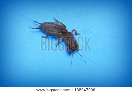 Mole Cricket - a pest in the garden, insect on a blue background