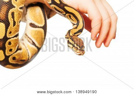 Close-up picture of Royal or Ball python on hand, isolated on white background