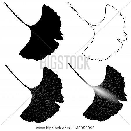 Ginkgo leaf , Leaves of ginkgo biloba ,  vector . isolated ginkgo leaf