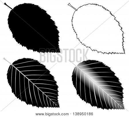 hornbeam ,  isolated hornbeam leaf ,hornbeam leaf  illustration,