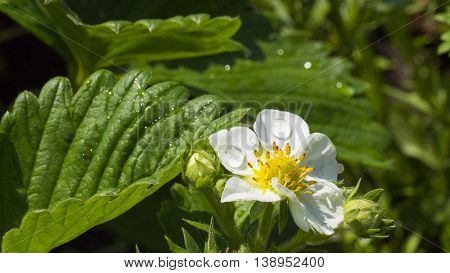 strawberry blossom in thge garden with water drops