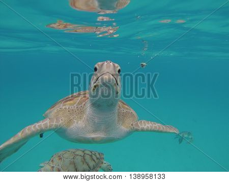 Hawksbill turtle underwater close up Barbados Nature reserve