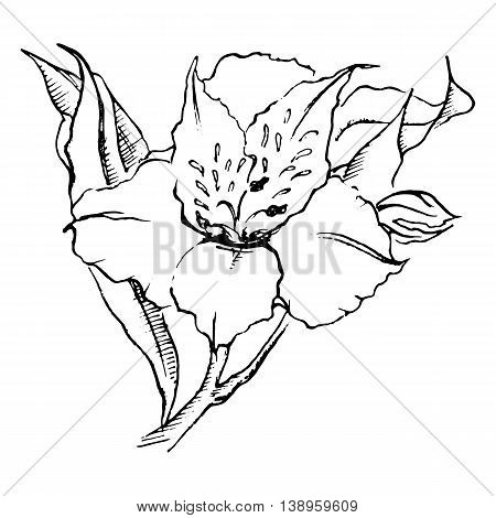 Monochrome alstroemeria flower isolated sketched art vector