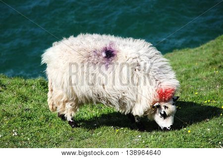 Welsh sheep grazing on the Gower in Wales