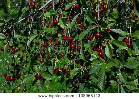 Beautiful lot of red cherries on the branches