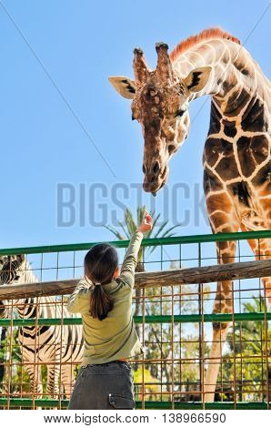 Young Girl Feeding Giraffe At The Zoo