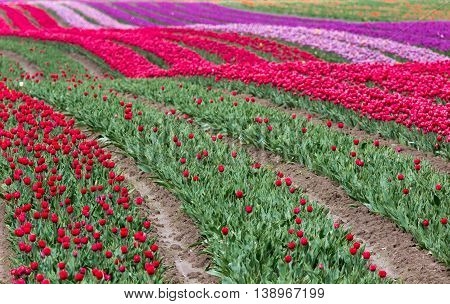 Spring Landscape Tulip Flower Field red and green
