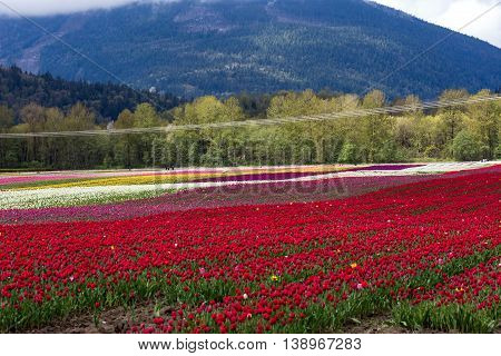 Spring Landscape Tulip Flower Field in Agassiz BC Canada