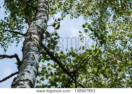 Trunk wood of white birch with green branches with leaves on sky background