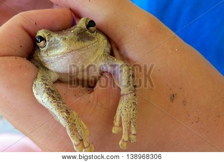 Picture of Bahama's green and yellow smiling Gecko frog held in a hand