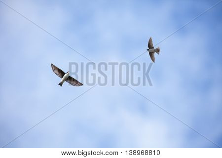 two Flying Tree Swallow with blue sky
