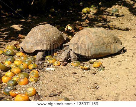 Adult Tortoises Feeding On Gem squashes 02