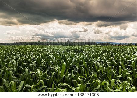 dramatic sky corn field landscape agriculture farming