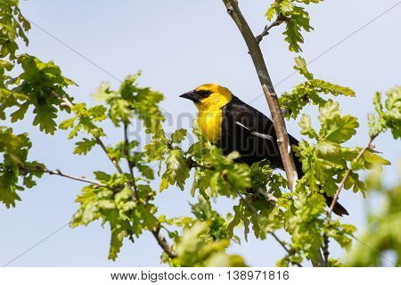 Yellow headed Blackbird spring in BC Canada