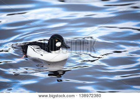a common goldeneye waterfowl in vancouver Canada