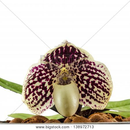 Orchid Name