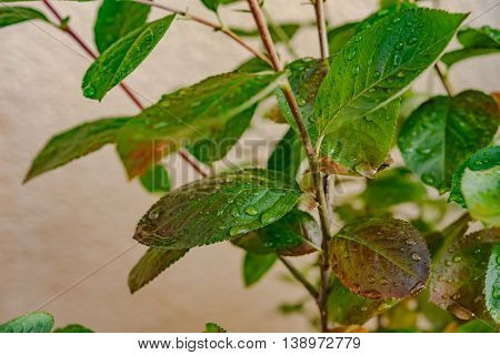 branch with leaves with drops of dew in Germany